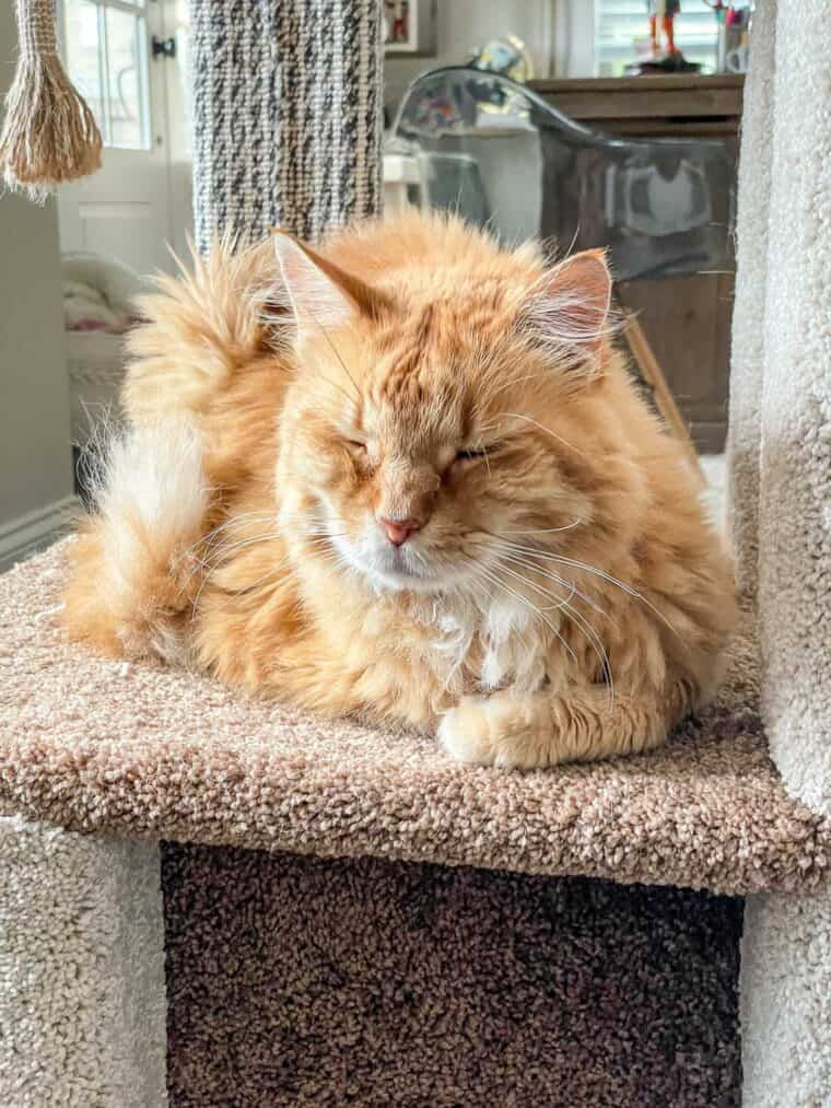 cat sleeping on the cat tower