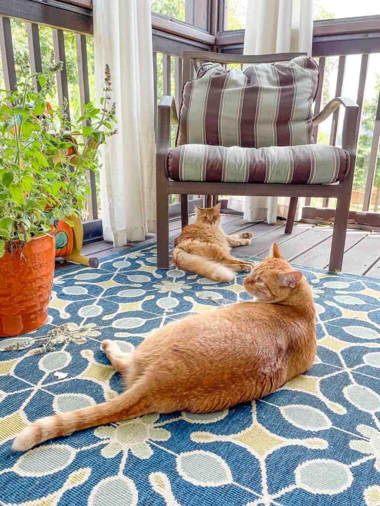 2 orange cats on the deck