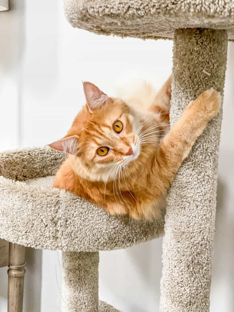 orange cat clawing the cat tower