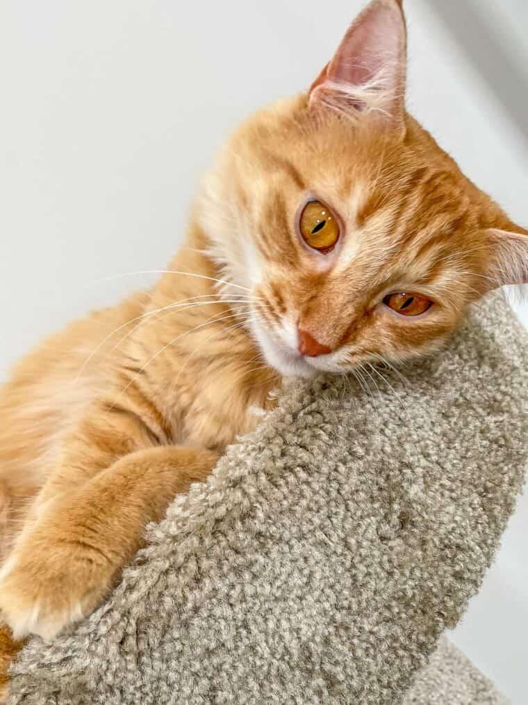 orange cat on the cat tower