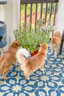 3 cats standing around catnip